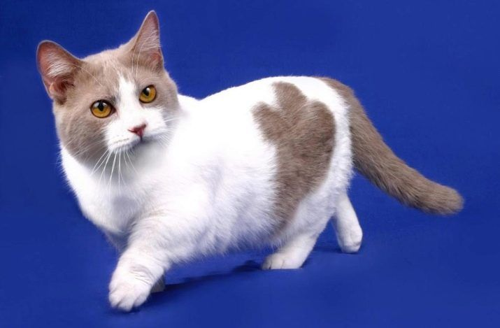 Породы кошек с уникальной формой тела.