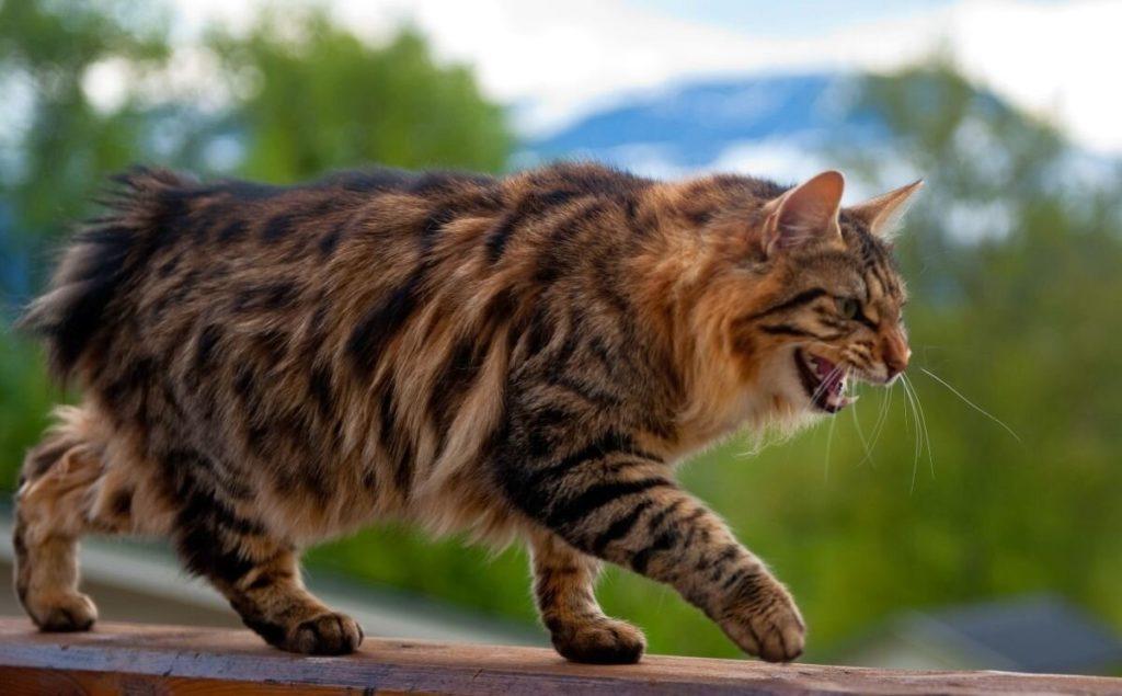 Породы кошек с уникальной формой тела.10