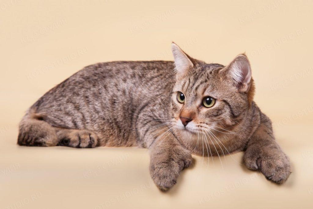 Породы кошек с уникальной формой тела.12