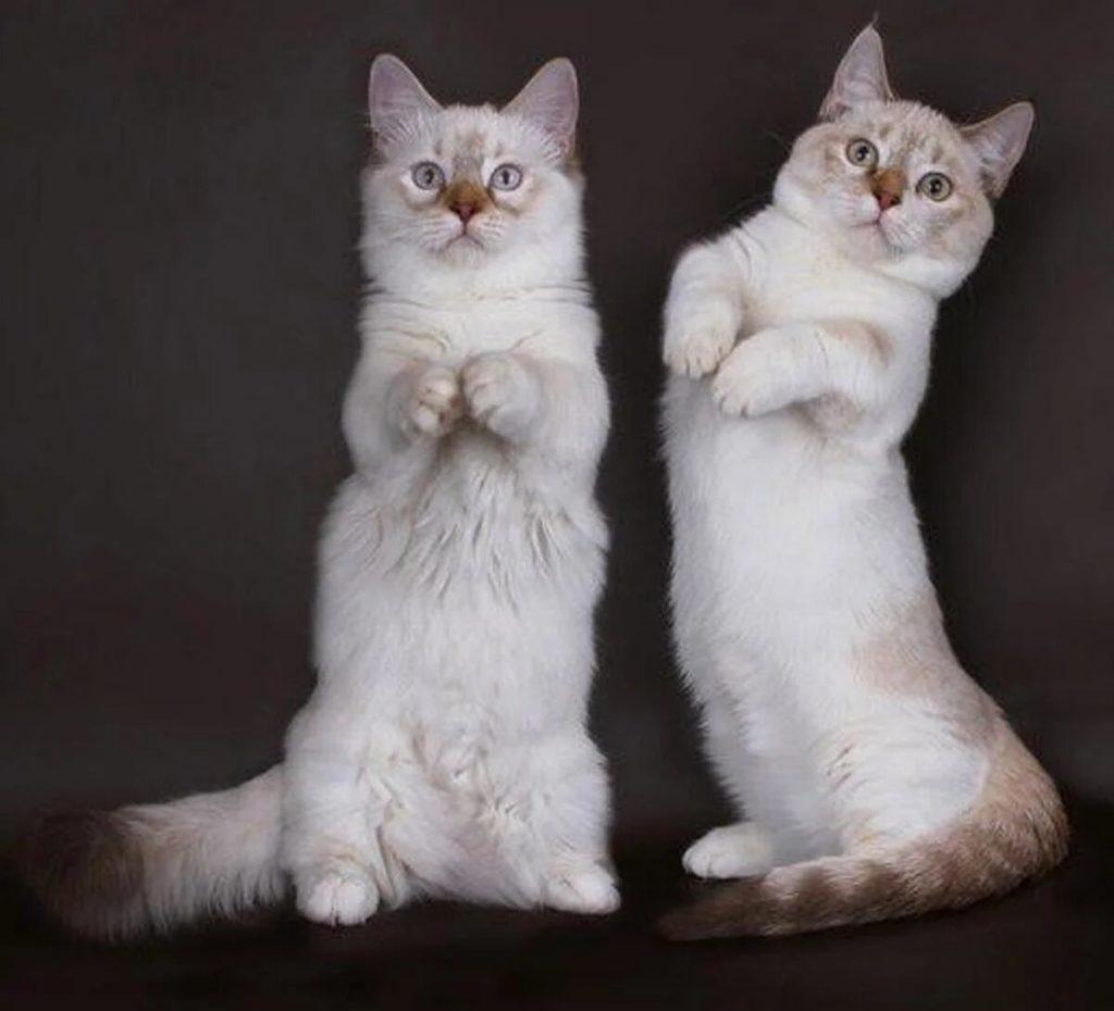 Породы кошек с уникальной формой тела.1