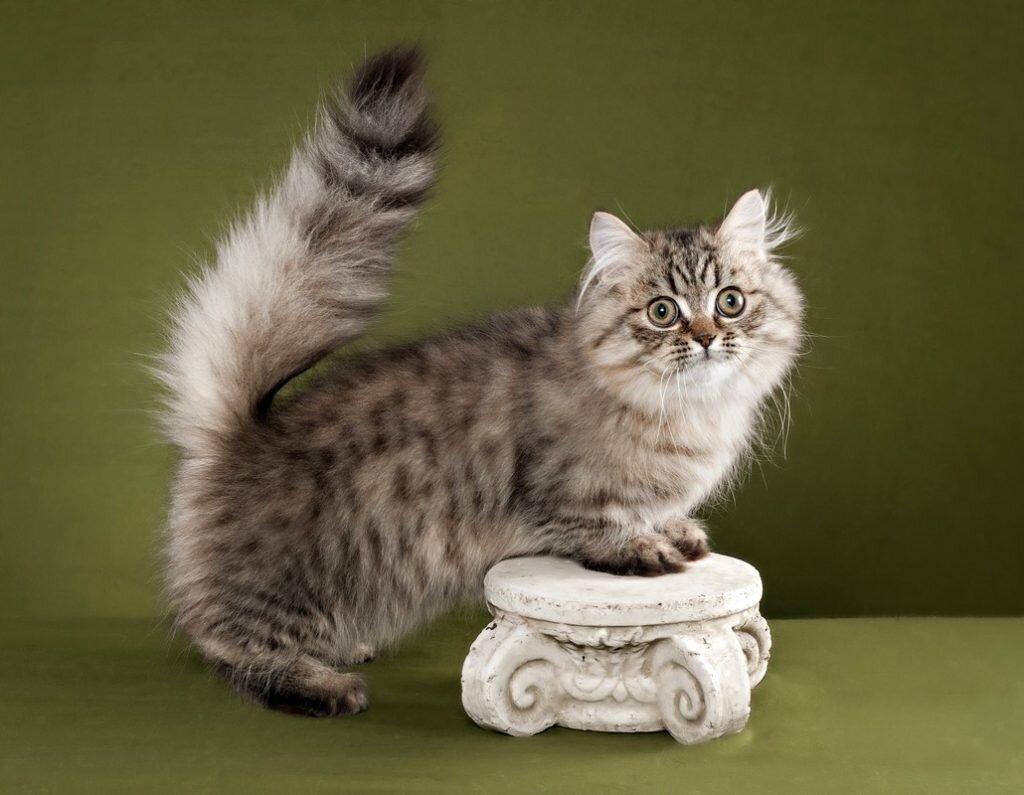 Породы кошек с уникальной формой тела.3