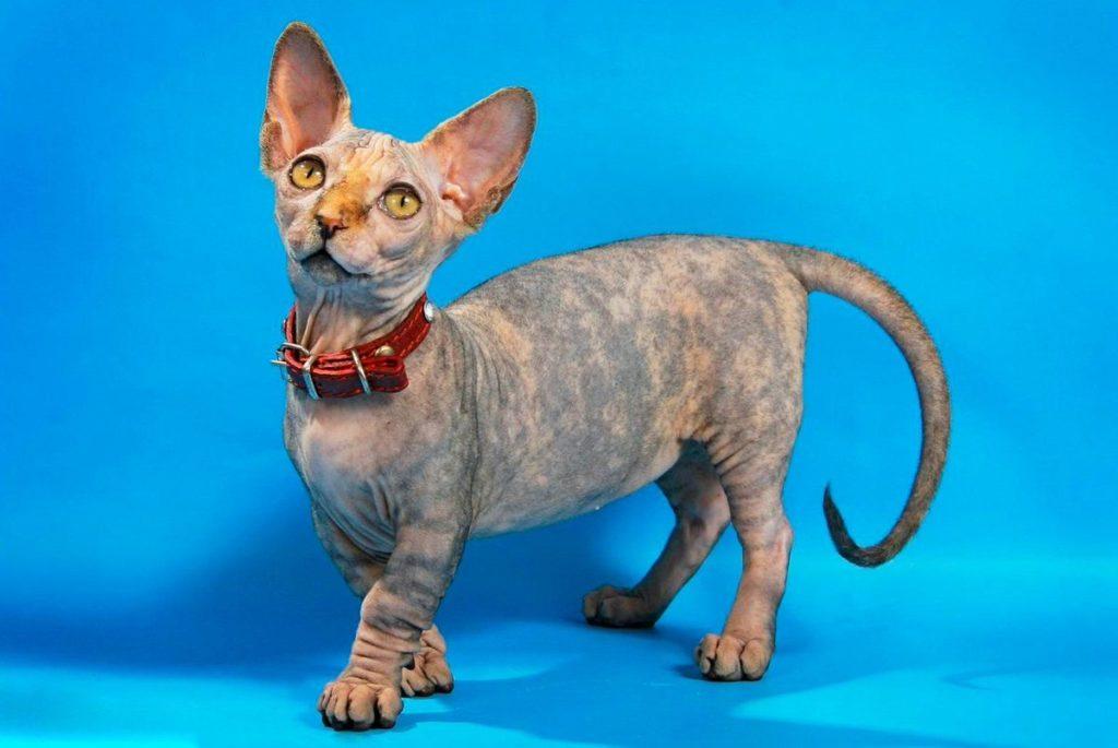 Породы кошек с уникальной формой тела.5