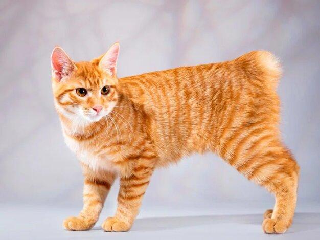 Породы кошек с уникальной формой тела.8
