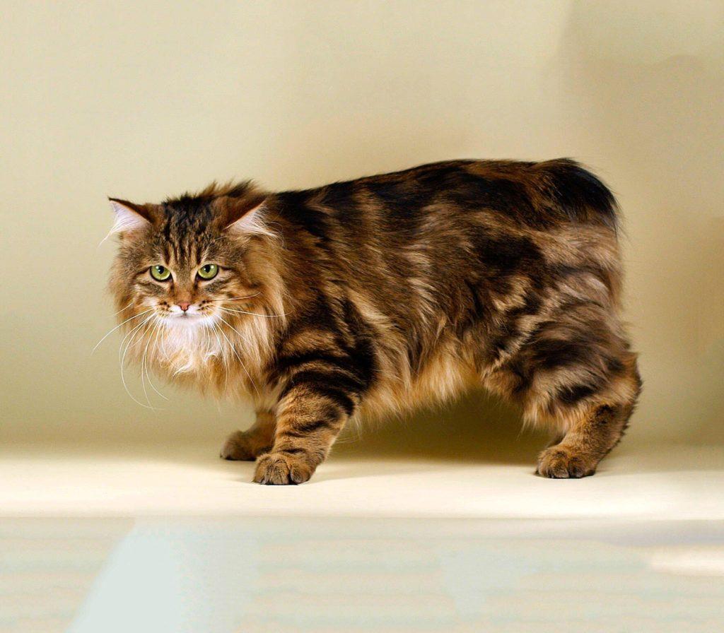 Породы кошек с уникальной формой тела.9